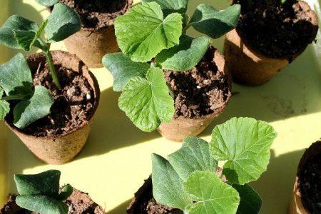 высадка кабачков семенами сроки