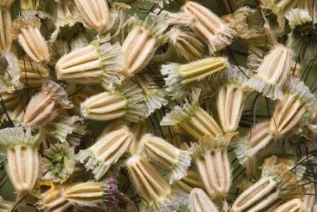 скабиоза-семена