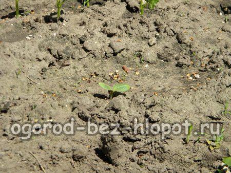 ростки кабачка в открытом грунте