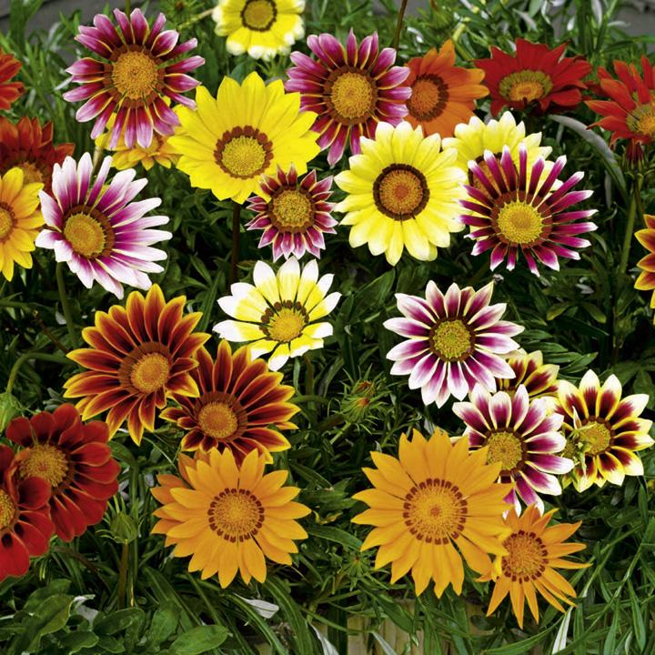 Выращивание однолетних и многолетних цветов 8294
