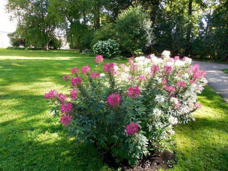 Клеома: выращивание