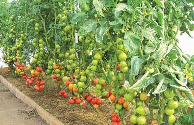 Выращивание томатов в теплице как бизнес