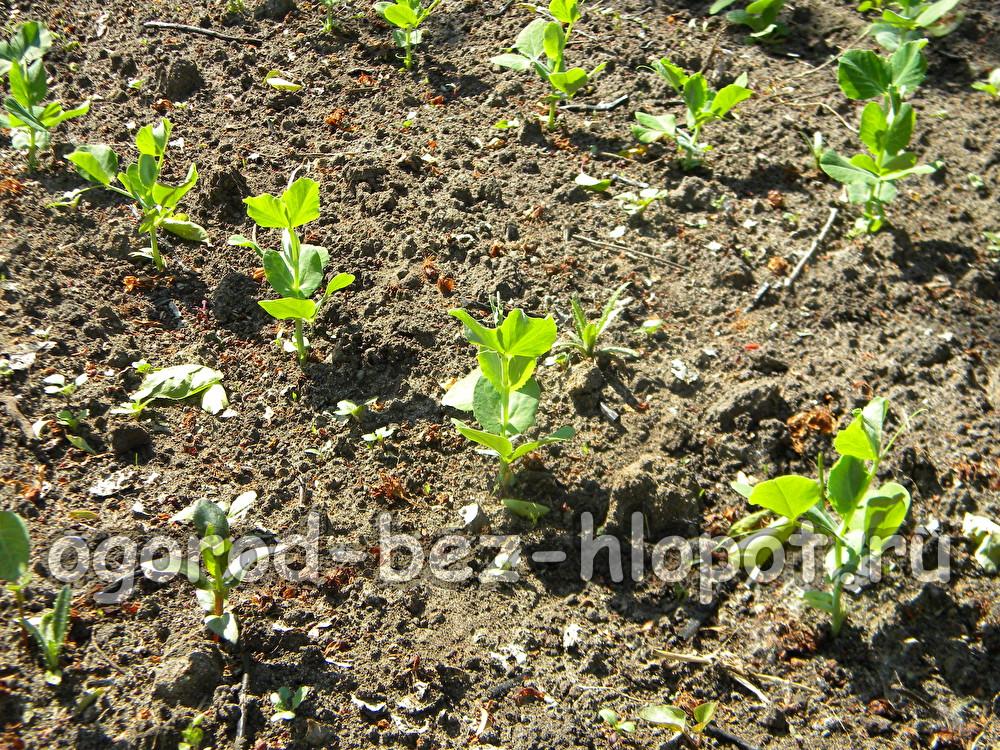 Когда сажать зеленый горошек на рассаду 26