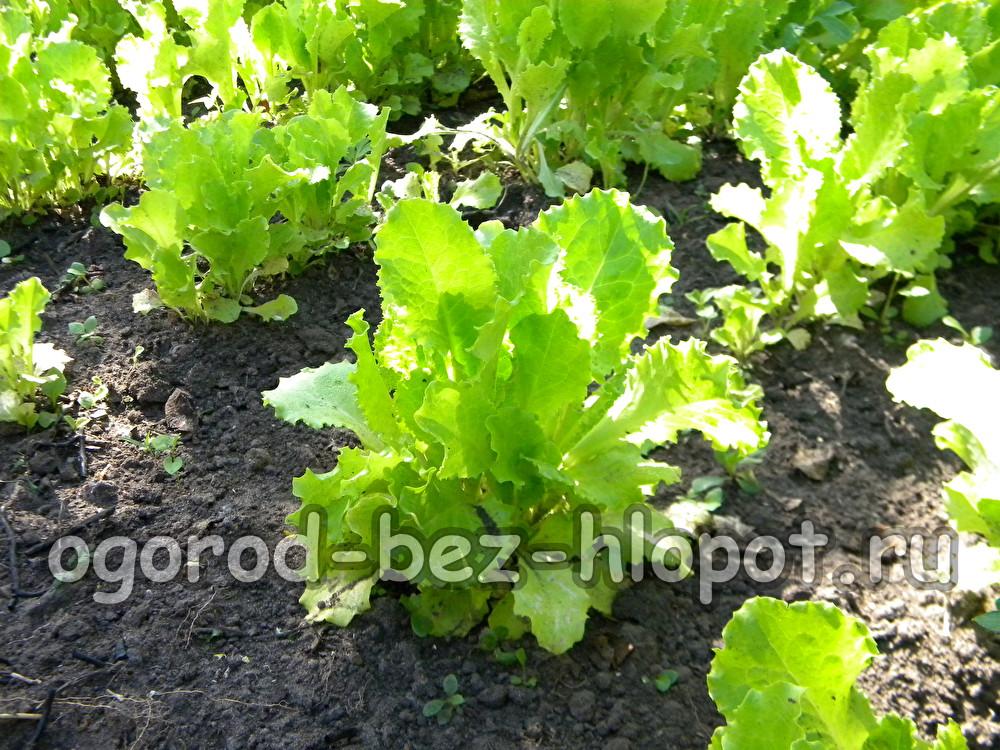 Сажать салат в открытый грунт 99