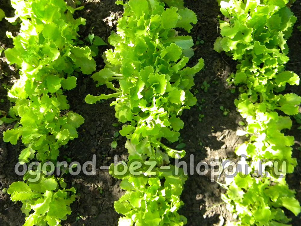 Сажать салат в открытый грунт 91