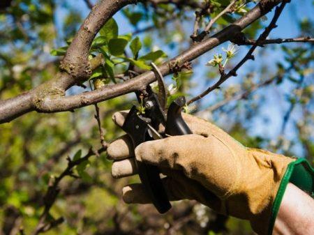 Как ухаживать за вишней весной, чтобы был хороший урожай