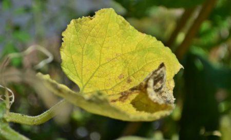 Почему желтеют листья у огурцов в теплице и методы борьбы