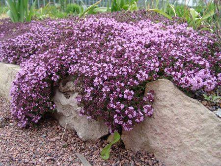 Тимьян- выращивание в грунте в Подмосковье