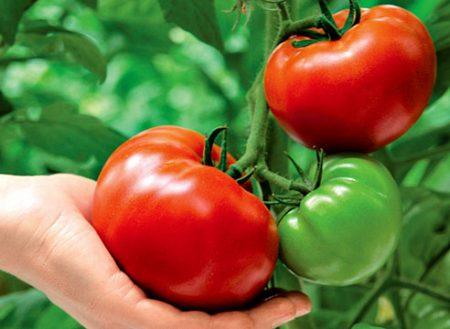 томат краснобай отзывы урожайность фото