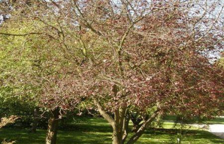 узаживаем за вишнями весной