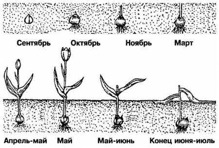 Когда выкапывают тюльпаны после цветения и когда сажать