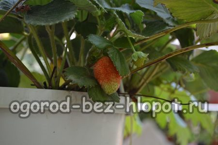 Выращивание клубники в горшочках