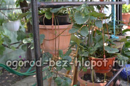 Выращивание клубники в горшочках на улице
