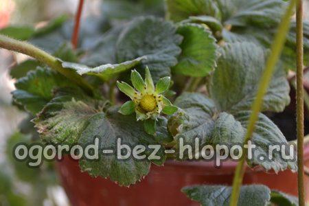 Выращивание клубники в горшках на даче