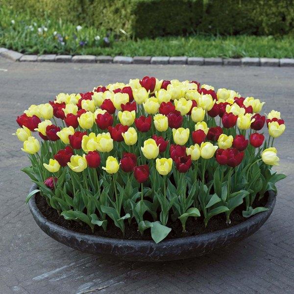 Клумбы тюльпаны своими руками