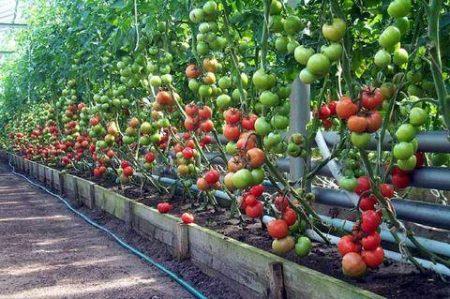 Борная кислота для помидоров, опрыскивание