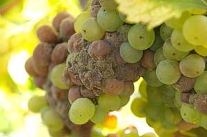 болезни винограда описание белая гниль способы лечения