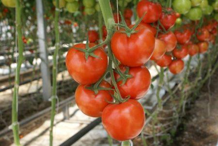 Семена томатов: самые урожайные сорта на 2017 год