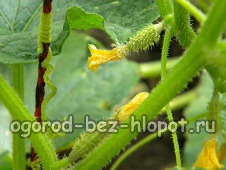 Огуречные кусты во время выращивания в бочке