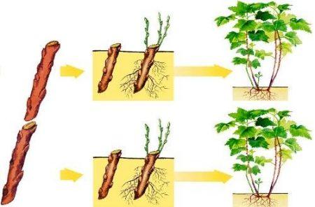 Черная смородина: размножение черенками