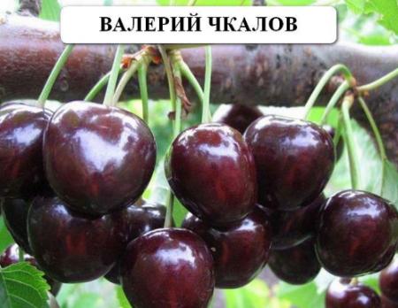"""Черешня """"Валерий чкалов"""": описание сорта, отзывы"""