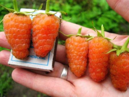 """Малина """"Оранжевое чудо"""": описание сорта, отзывы"""