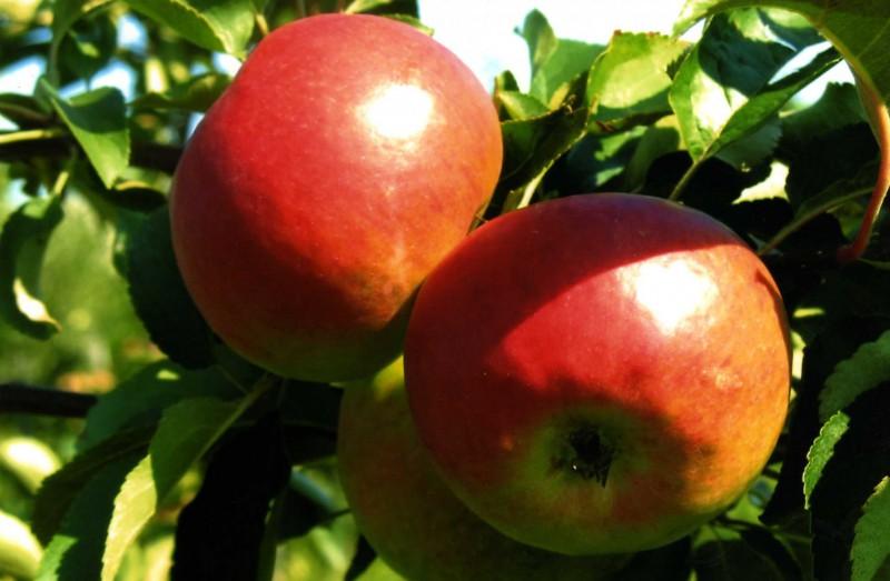 яблоня сорта жигулевское описание и фото