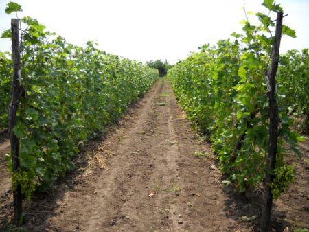 vyrashhivanie-vinograda-v-podmoskove-v-otkrytom-grunte
