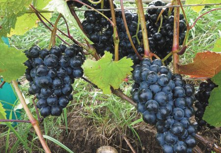 vyrashhivanie-vinograda