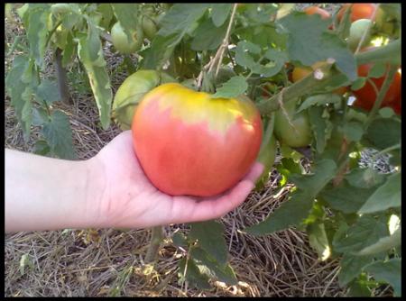 tomat-velmozha-otzyvy-kto-szhaal-i-foto