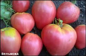 tomat-velmozha-otzyvy-foto-kto-sazhal
