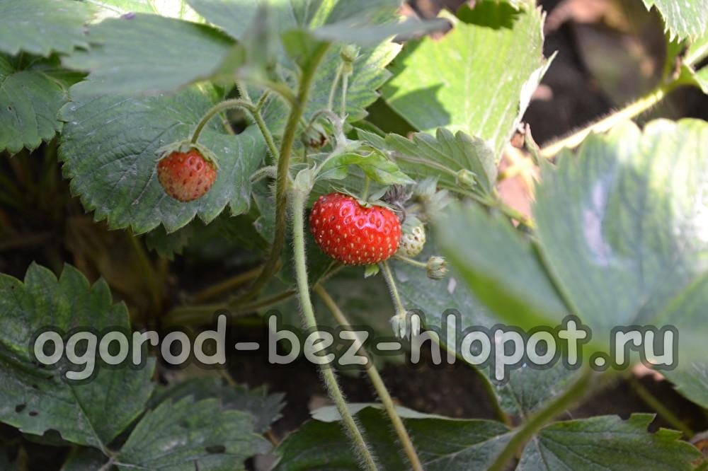 Чем подкормить клубнику во время цветения и плодоношения новые фото