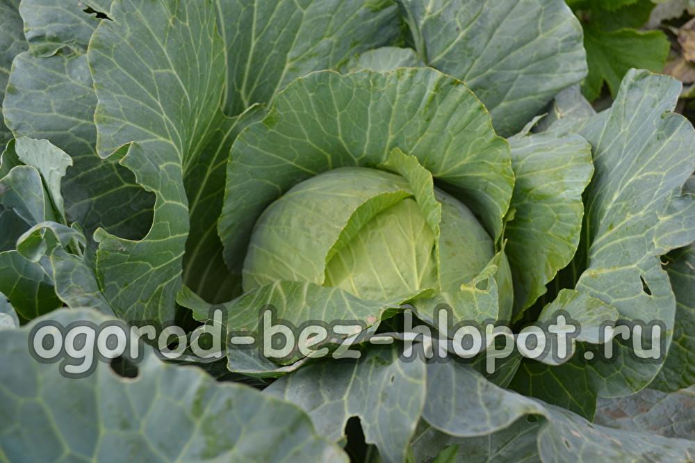 Выращивания цветной капусты в открытом грунте 83