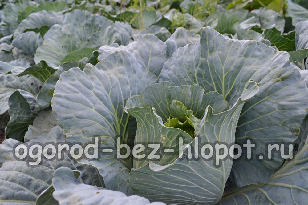 Агротехника выращивания белокочанной капусты 81
