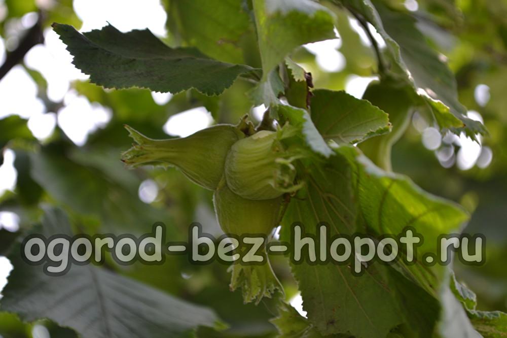 Лещина особенности выращивания 92