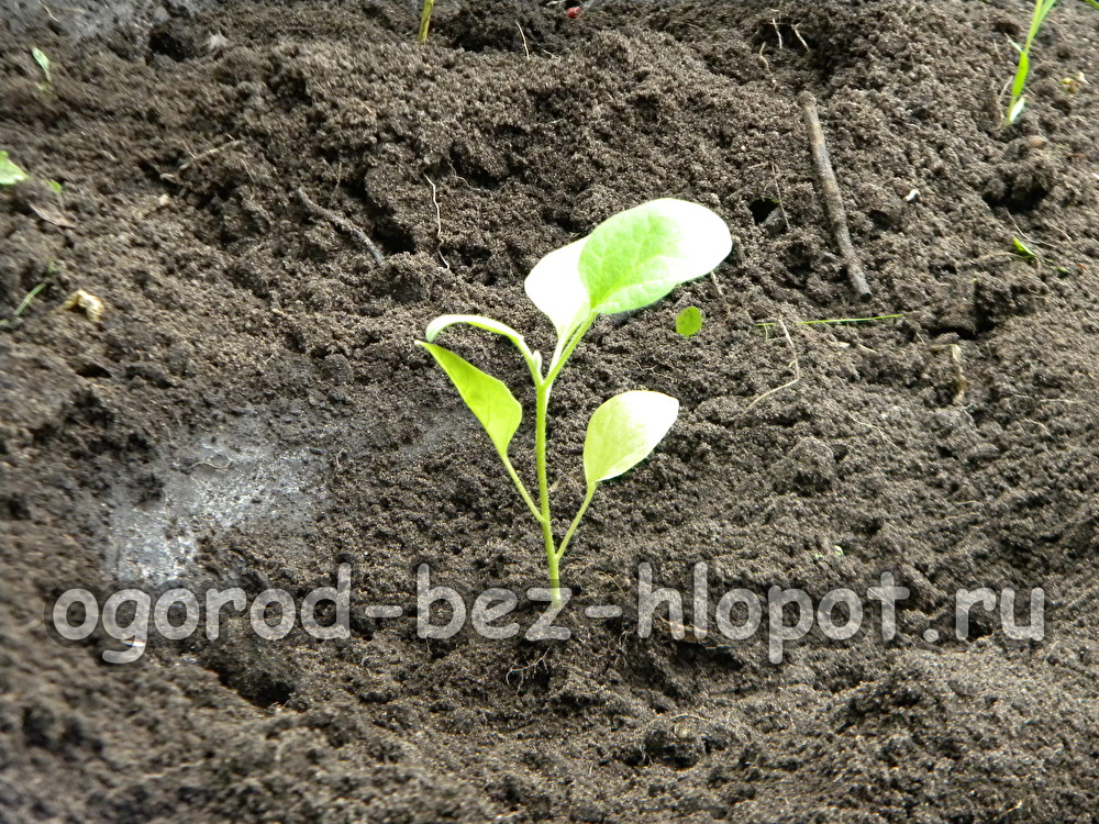 Когда высаживать рассаду баклажанов в открытый грунт 8