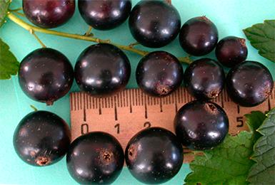 che%cc%88rnaya-smorodina-sorta-super-krupnoi%cc%86-sladkoi%cc%86-i-urozhai%cc%86noi%cc%86-opisanie-foto