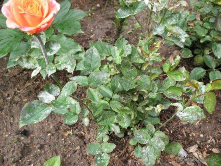 розы в мучнистой росе