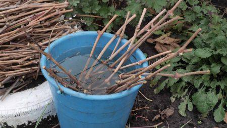Заготовка черенков винограда осенью