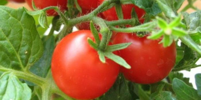 Самые урожайные сладкие сорта помидор и низкорослые, непасынкующиеся