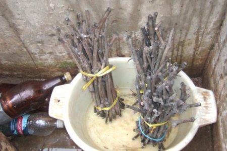 Заготовка черенков винограда с осени