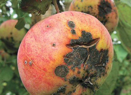 яблочная парша