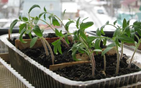 Благоприятные дни для пикировки томатов в апреле 2017