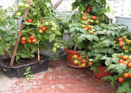 помидоры на подоконнике фото