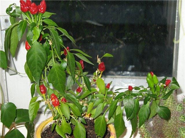Комнатные перцы выращивание 19