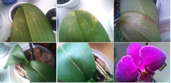 Болезни и вредители орхидей и их лечение