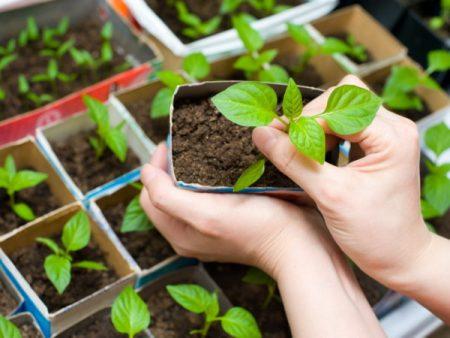 Как сажать рассаду цветов дома