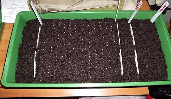 Как сажать землянику семенами на рассаду 11