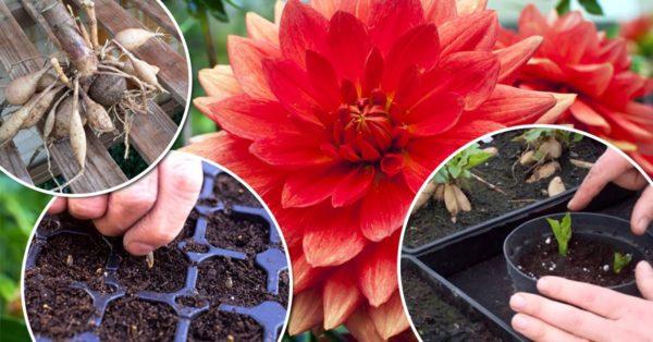 Выращивание и уход георгина