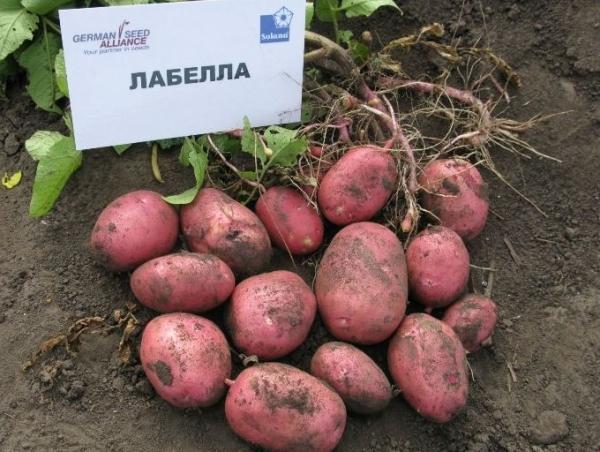 Отзывы сорт картофеля каменский